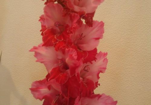 Mani mīļākie ziedi- gladiolas