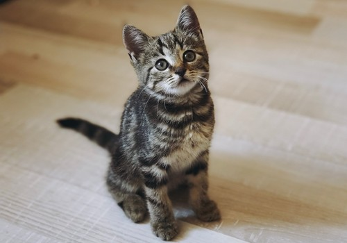 Ieteikumi ģimenēm ar bērniem, izvēloties kaķi