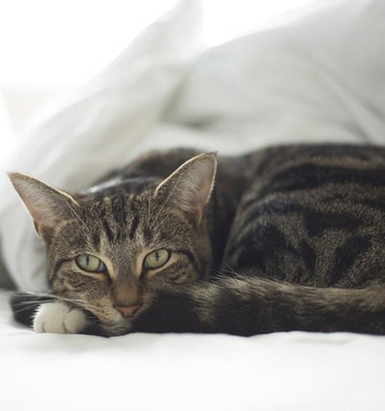 Kaķis un jaundzimušais. Kā sagatavot mājdzīvnieku bērna ienākšanai ģimenē?
