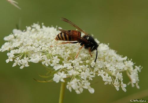 Kā atbaidīt odus un lapsenes?