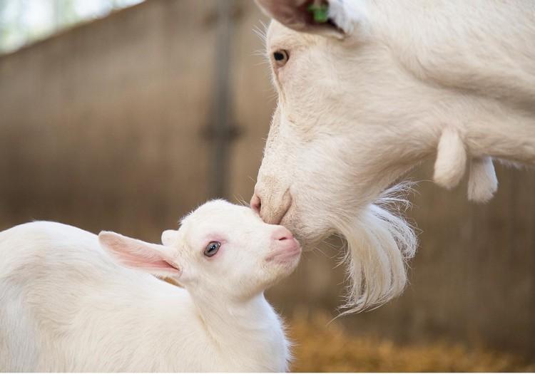 6 fakti par kazas pienu