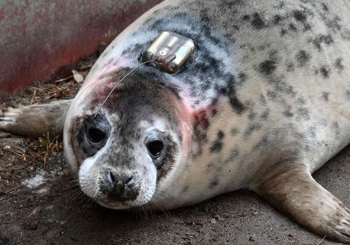 Sekosim Rīgas zoodārzā dzimušā ronēna gaitām jūrā