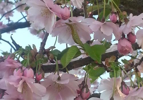 Japāņu ķirši zied Uzvaras parkā - laiks pastaigai!