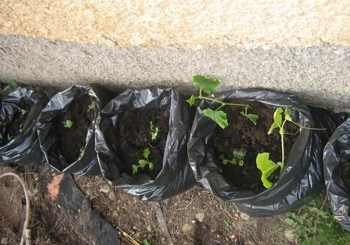 Kā audzēt gurķus savādāk.