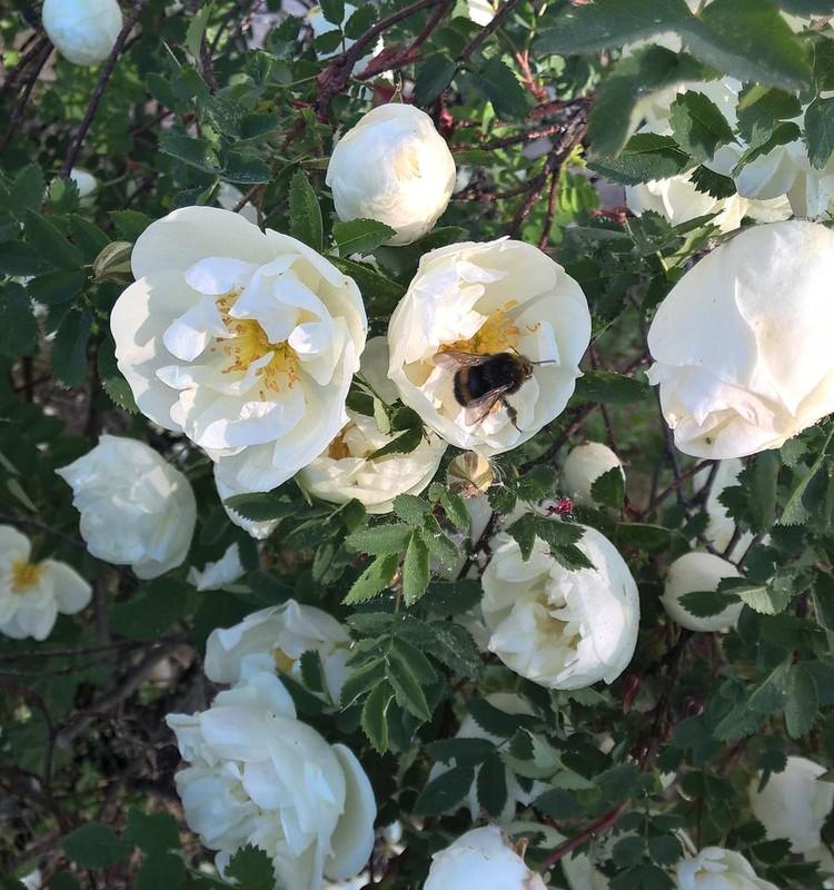 Bitītes darbs rīta agrumā