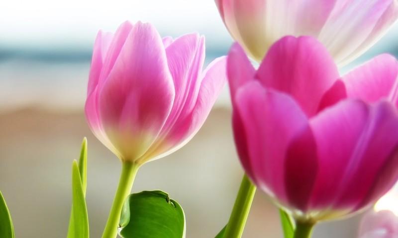 Sveicam jūs, skaistākās puķes, SIEVIEŠU DIENĀ!
