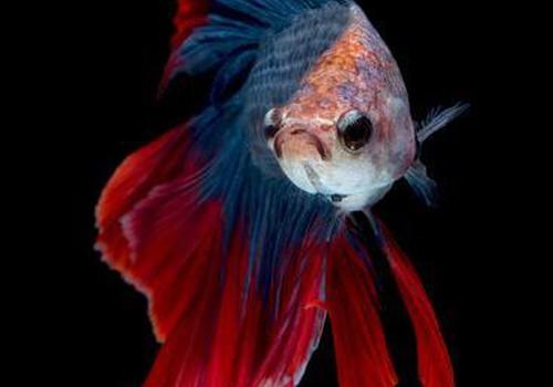 Gribējām zivtiņu, sanāca Ģirtiņš
