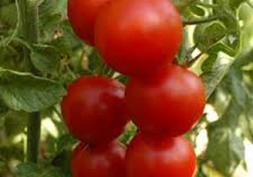 Mani padomi tomātu stādu audzēšanā