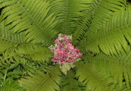 Meklējot Papardes ziedu, noplūc arī papardi