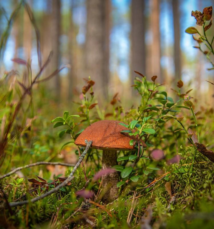 Meža veltes – sēnes: cik daudz un kādas likt grozā?