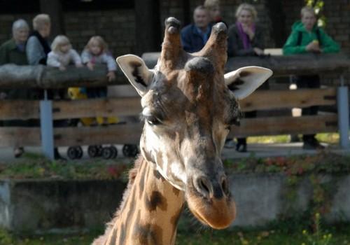 Nosvērtas gan Zooloģiskā dārza žirafes, gan apmeklētāji