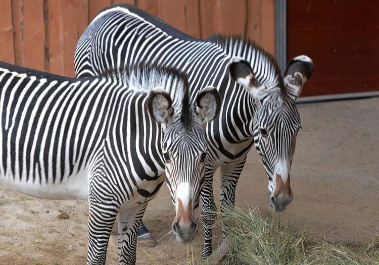 Zoodārza kalnos un savannā lielākās zebras un neīstas aitas!