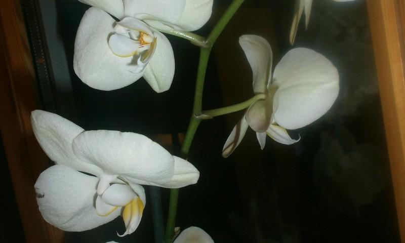 Orhidejas mājoklī