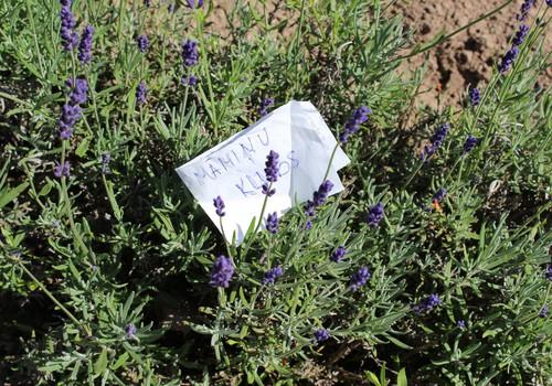 NE-mājās ar mazo: Lilas lavender