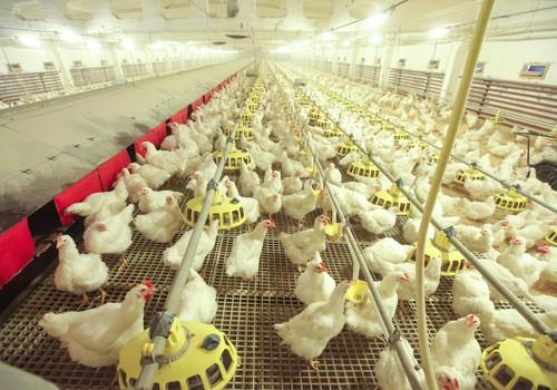 Jautā speciālistam visu, kas interesē par vistu audzēšanu!
